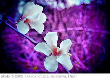'two flowers' photo (c) 2009, Takadanobaba Kurazawa - license: http://creativecommons.org/licenses/by-nd/2.0/