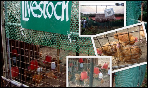 Livestock at Costales Farm in Majayjay, Laguna (10)