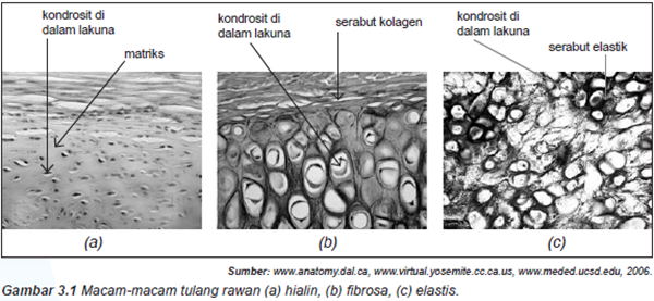 Gambar 3 1 macam macam tulang rawan a hialin b brosa c elastis