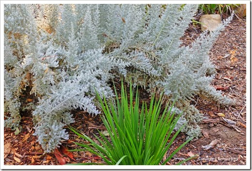 131124_UCD_Arboretum_AustralianCollection_Westringia-fruticosa-Smokie_01