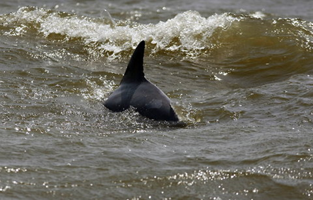 A dolphin in Breton Sound off the coast of Louisiana on 1 May 2010, less than two weeks after the BP oil spill began. Associated Press