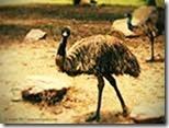 Ostritch-Emus