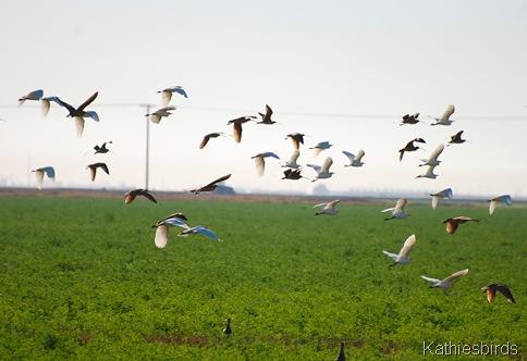 17. curlews n egrets-kab
