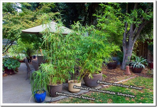 121023_bamboos-by-patio