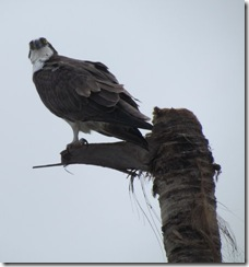 Osprey at Everglades