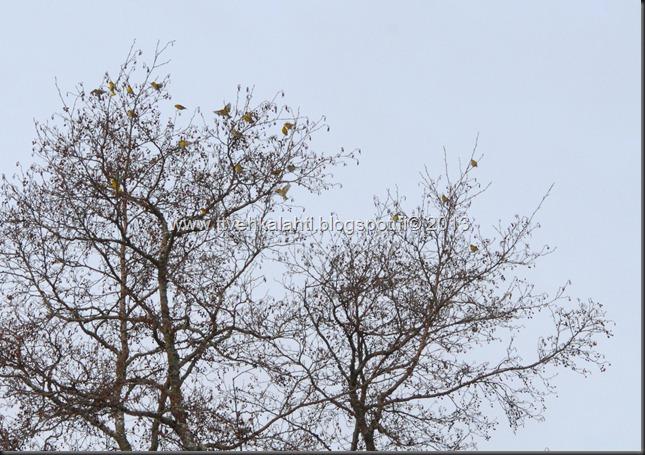 tilhe linnut kylpee keltasirkut 128