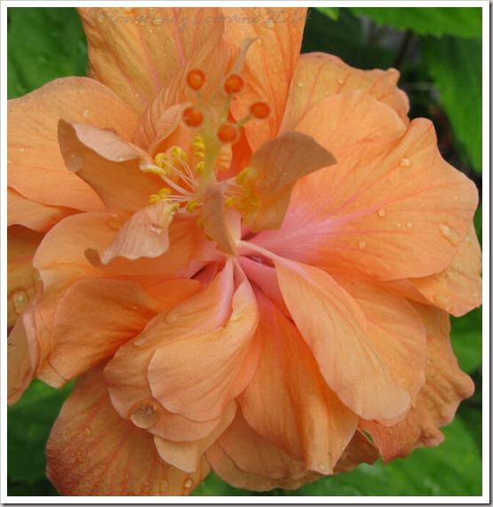 03-07-hibiscus