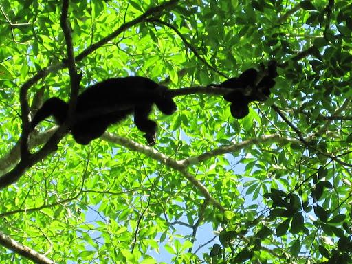 Howler monkey Mama & Baby