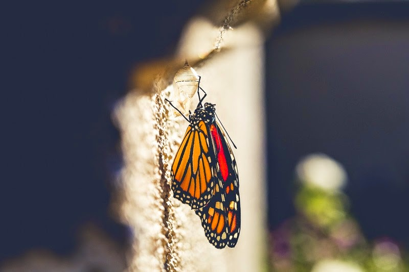 emerging monarchs-3