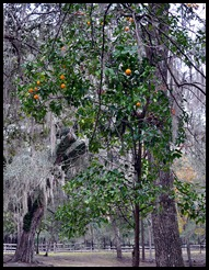 06 - ripe Orange Tree