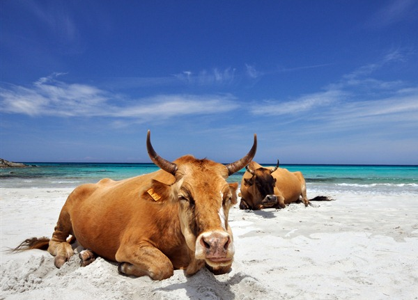 The Cows of Corsica