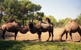 1993.08.31-111.30 chameaux