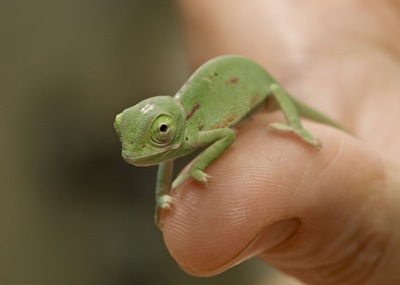 Veiled chameleon