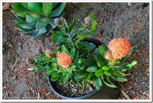 150221_Leucospermum_Scarlet_Ribbon_001