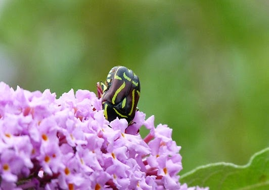 Amazing Pictures of Animals, Photo, Nature, Incredibel, Funny, Zoo, Eupoecila australasiae, fiddler beetle or rose chafer, Insecta, Alex (4)