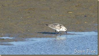 tern island birding_023