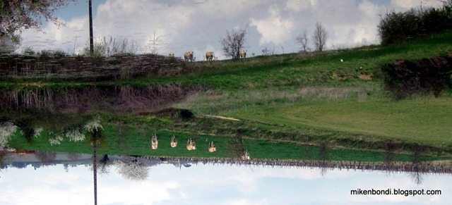 Neighbour's cows reflected in the Sargasso pond