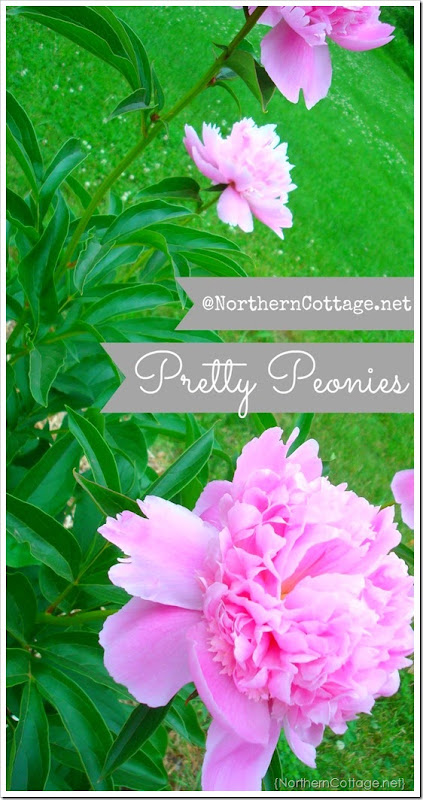 {Northern Cottage} Pink Peonies