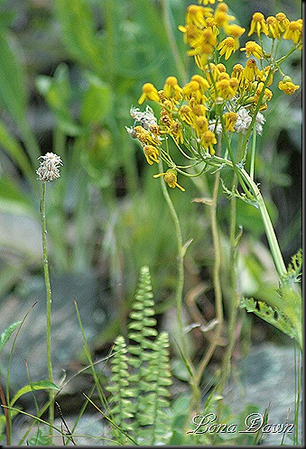 S_Ragwort_Yellow2