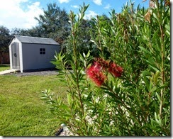 Bottlebrush in bloom