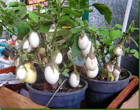 Planta Ovo Comestivel 1