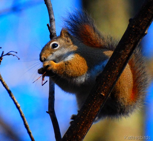 2-9-12 Red Squirrel sky-kab