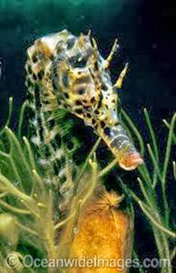 Amazing Pictures of Animals, Photo, Nature, Incredibel, Funny, Zoo, Big-belly seahorse, Hippocampus, Alex (13)
