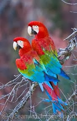 Amazing Pictures of Animals, Photo, Nature, Incredibel, Funny, Zoo, Red-and-green Macaw, ara chloropterus, Bird,  Alex.  (24)