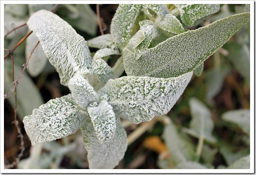 121220_first_frost_Salvia-canariensis_02