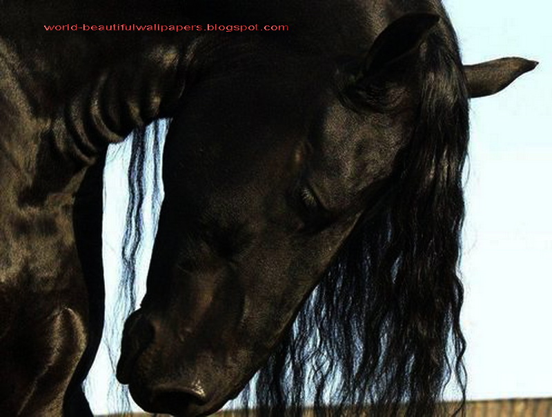 Friesian Horse Pictures Beautiful Wallpapers Friesian Horse Pictures