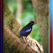 Black-and- Crimson Pitta-01.jpg
