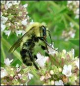 bumble bee-oregano (1)