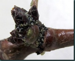aphid_eggs