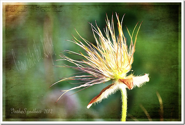 Pulsatilla Seedhead with kk Lilly texture