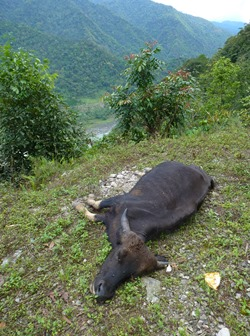 Dead mithun beside the road