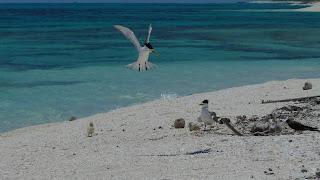 Crested Terns verteidigen ihr Küken.