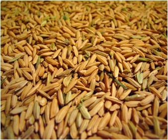 Kharif crop- Paddy