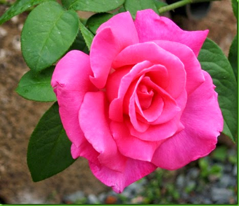 Rosa PERFUME DELIGHT