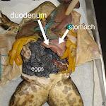 dissect29_eggs-001.jpg