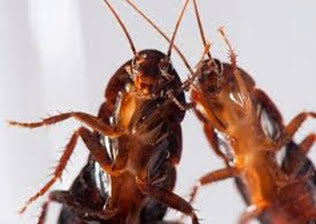 Amazing Pictures of Animals,Photo, Nature, Incredibel, Funny, Zoo, Cockroaches,Blattaria or Blattodea, Insecta, Alex (16)