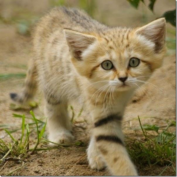 gato de arena cosasdivertidas info (5)