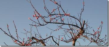 Early peach blossum