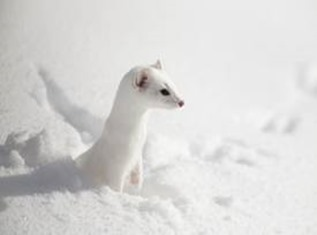 Amazing Pictures of Animals, photo, Nature, exotic, funny, incredibel, Zoo, Stoat, Mustela erminea, Alex (14)