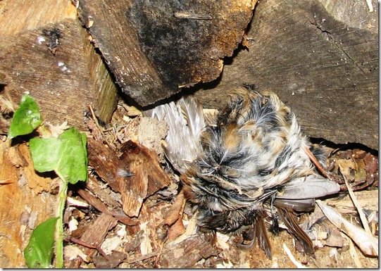 20130314 dead hedge sparrow