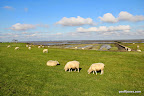 Loads of sheep grazing the dykes