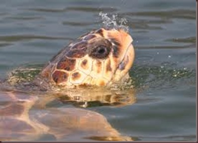 Amazing Pictures of Animals Caretta Caretta  Loggerhead sea turtle.Alex (7)