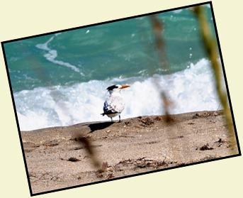 5b5 - Tour - First Beach Access - Royal Tern