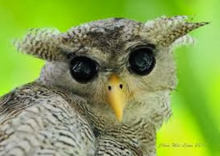 Amazing Pictures of Animals, Photo, Nature, Incredibel, Funny, Zoo, Barred Eagel-Owl, Bubo sumatranus, Bird, Alex (12)