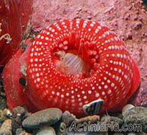 Amazing Pictures of Animals, photo, Nature, exotic, funny, incredibel, Zoo, Sea anemones, Actiniaria, Alex (4)