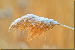 Phragmite Seed Head in Snow